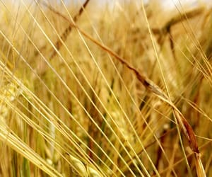corn, corn field, and field image