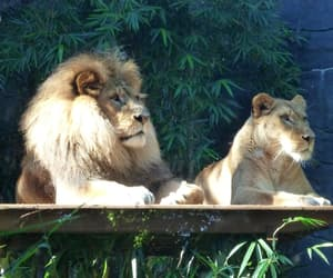 couple, lion, and love image