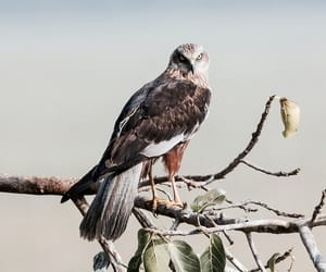 marsh harrier image