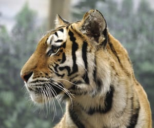 majestic, stare, and tigris image