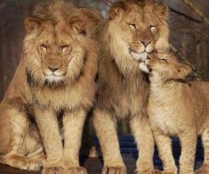 animals, lion, and animal image
