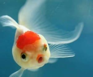 fish, animal, and goldfish image