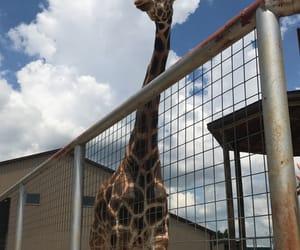 animals, animal park, and giraffe image