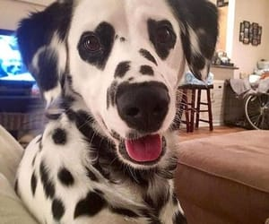 animal, dalmatian, and dog image