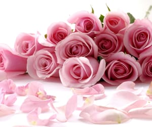 pink, pink roses, and roses image