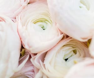 background, flowers, and pink ranunculuses image