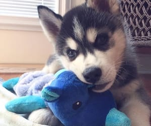 animal, husky, and puppy image