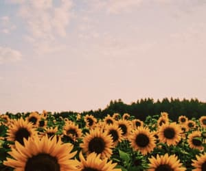 summer and sun flowers image