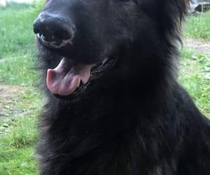 dog, german shepherd, and woof image