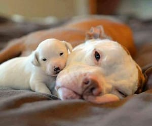 puppy, dog, and pitbull image