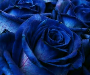 blue, blue roses, and blue roses backgrounds image