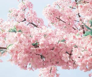 aesthetic, beauty, and cherry blossom image