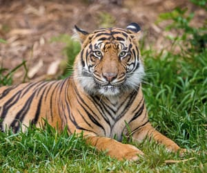 animals, tiger, and tigre image