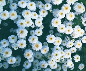 daisy, flower, and natural image