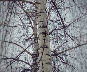 birches, black and white, and creepy image