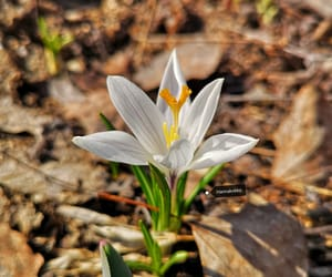 crocus, flower, and spring image
