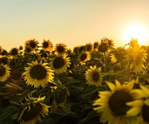 nature, sunflower, and sun image