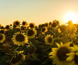 sunflower, nature, and sun image