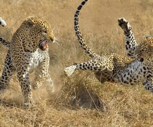 africa and leopard image