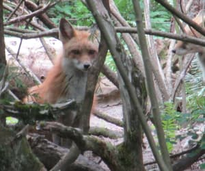red fox, two red foxes, and northwest trek image