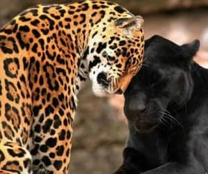 animal, big cat, and jaguar image