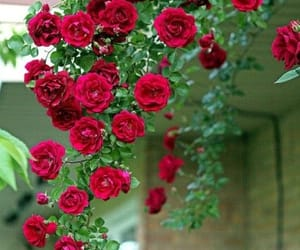 lifestyle, red roses, and rose garden image