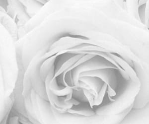 rose, wallpaper, and white image