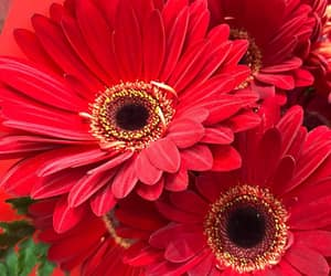 flowers, red, and gerbera image