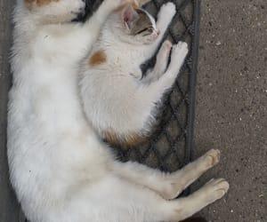animals, big cat, and cats image