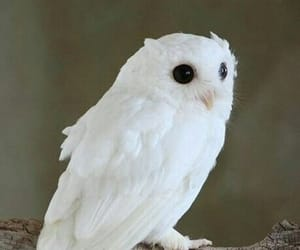 owl, white, and abino image