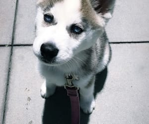 husky, puppies, and puppy image