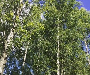 birch, tree, and green nature image