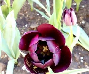 flower, Virag, and tulpen image
