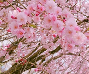 cherryblossom, flowers, and pink image
