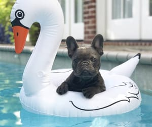 french bulldog and frenchie image