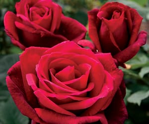 passion, rose, and rouge image