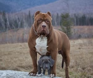 animals, dogs, and pitbull image