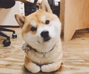 dog, shibainu, and cute image