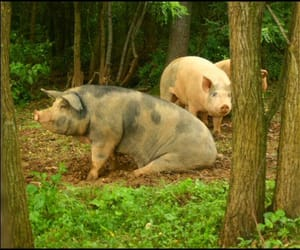 amish, pig, and joel salatin image