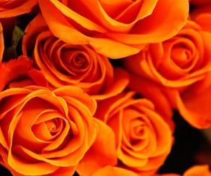 orange, roses, and wallpaper image