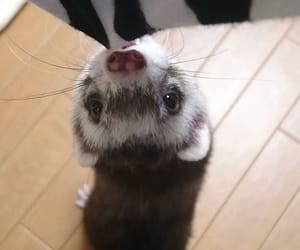 adorable, ferrets, and photography image