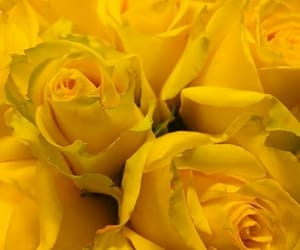 roses and yellow image