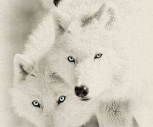 wild, wolves, and beautiful image