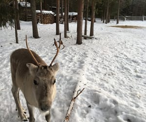 finland, winter, and reindeer image