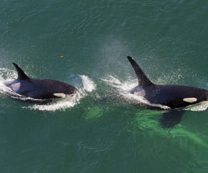 animals, nature, and orca image