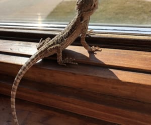 animals, reptile, and bearded dragon image