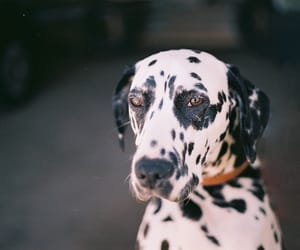 dogs, pets, and dalmation image