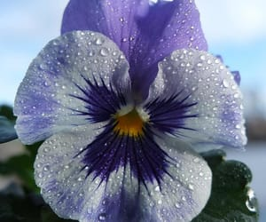 dew, pansy, and flower image
