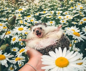 daisies, green, and hedgehog image