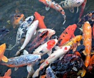 Best, finding, and koi fish image